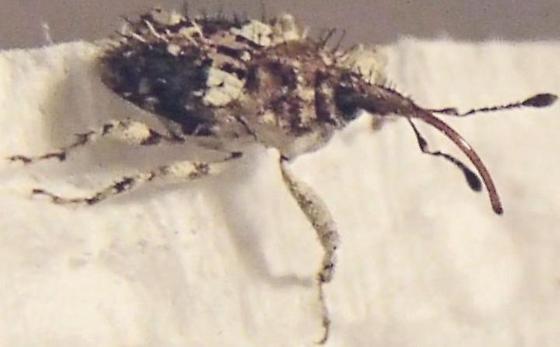 Beetle - Plocamus echidna