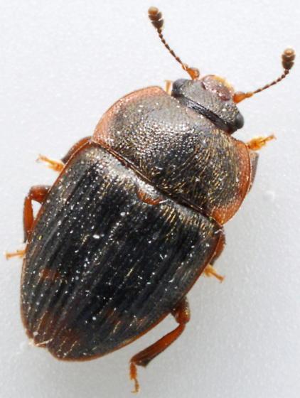 Nitidulid - Stelidota octomaculata