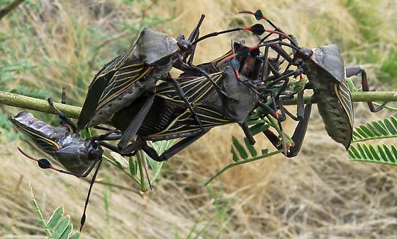 Giant Mesquite Bug - Thasus neocalifornicus