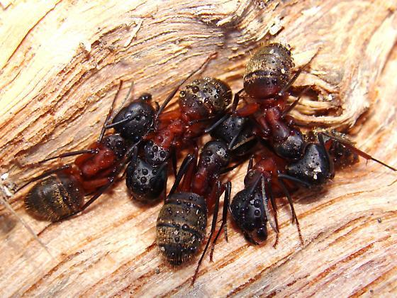 Carpenter Ants? - Camponotus chromaiodes