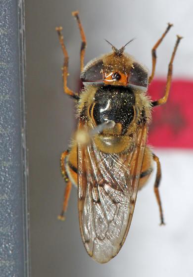 Syrphidae - Copestylum satur