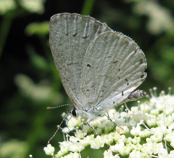 Which Azure? - Celastrina neglecta - female