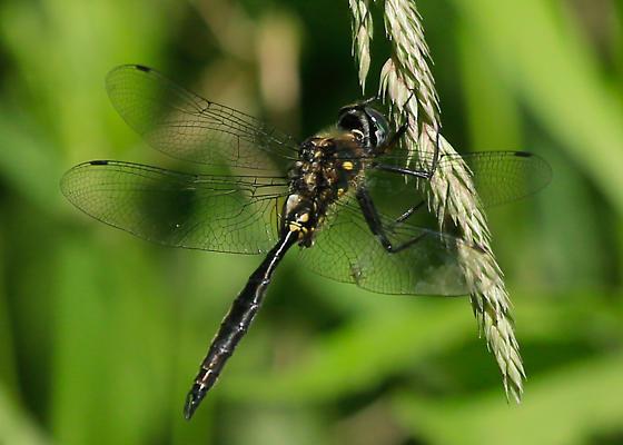 Ocellated Emerald - Somatochlora minor? - Somatochlora minor - male