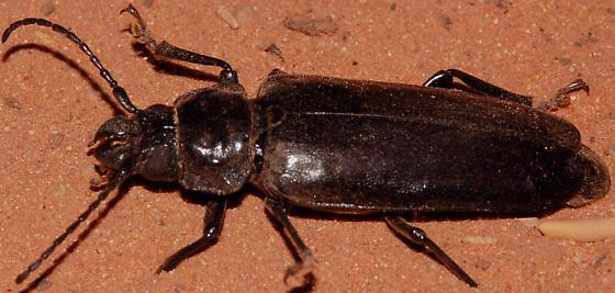 Prioninae? - Archodontes melanopus