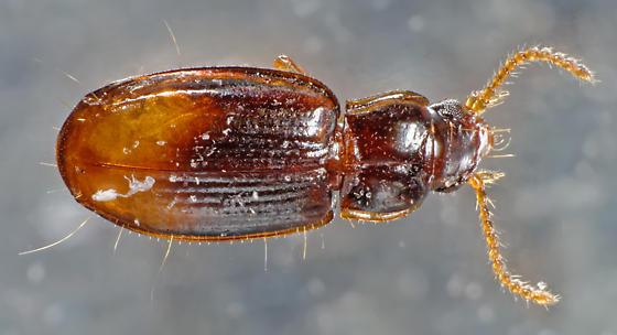 tiny carabid - Mioptachys flavicauda