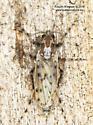 Chironomidae ? - Chaoborus punctipennis - female