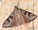 Pyraloidea ? - Nomophila nearctica