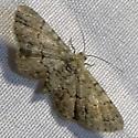 Glenoides texanaria, Texas Gray Moth, Hodges #6443 ? - Glenoides texanaria