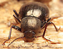 Darkling Beetle - Meracantha contracta