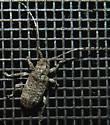 Long-horned Beetle 2 - Ecyrus dasycerus
