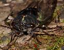 Holly River Cicada - Neotibicen lyricen