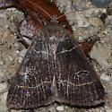 Moth unknown - Phoberia atomaris