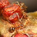 Ants attracted to cynipid galls - Prenolepis imparis - female