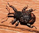 Small weevil  - Conotrachelus