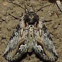 something near the sallow moths? - Prothrinax luteomedia