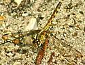 Band-winged Dragonlet (Erythrodiplax umbra) - Erythrodiplax umbrata