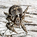 Jumping Spider - Naphrys pulex - female