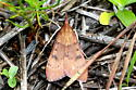 Small orang-brown moth - Uresiphita reversalis
