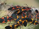 Milkweed Bugs - Oncopeltus fasciatus