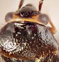 AZ-Miridae