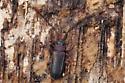 beetle - Uleiota