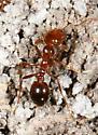 Fire Ant? - Solenopsis invicta