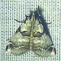 unknoown moth - Tallula atrifascialis