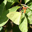 Another FL Sulphur - Phoebis sennae - male