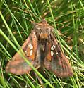 Unidentified moth - Autographa bimaculata