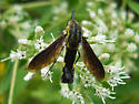 Lepidophora lutea - Lepidophora lepidocera