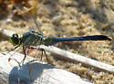 Caledon Dragonfly - Erythemis simplicicollis