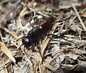 Thread Waisted Hunting Wasp  - Podalonia