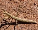 Unknown Mantid 4433 - Yersiniops solitarius