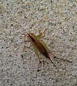 Short-winged Meadow Katydid?? - Conocephalus brevipennis - female