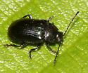 beetle - Phratora