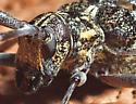 Longhorn beetle? - Monochamus clamator