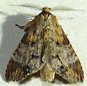 9/4/18 moth - Dasylophia thyatiroides - male