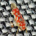 Erythroneura Leafhopper - Erythroneura festiva
