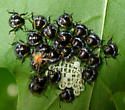 Small Black Plant Bugs - Chinavia hilaris