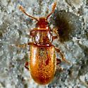 Tiny Beetle - Cryptophagus varus