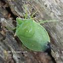 Stink Bug - Loxa flavicollis