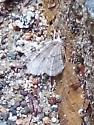 ?Hemlock Looper Moth?
