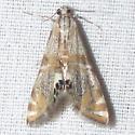 Capps' Petrophila - Petrophila cappsi