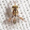 Chalcid Wasp - Conura