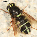 Soldier Fly - Stratiomys badia