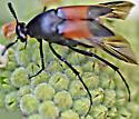 Wedge-shaped beetle - Macrosiagon