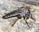 Robber Fly - Machimus occidentalis - male