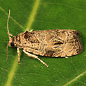 Raspberry Leafroller Moth - Olethreutes permundana