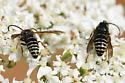 Vespula consobrina or Dolichovespula adulterina - Dolichovespula arctica - male