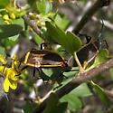Largus californicus - male - female